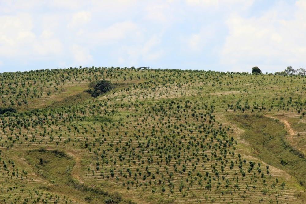 Iniciamos nossa plantação no segundo semestre de 2010, com 40 mil mudas adquiridas de Araguari-MG.