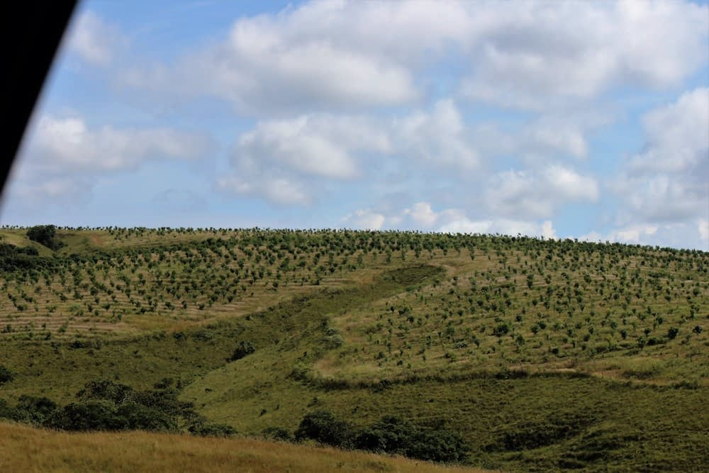 No 20º mês, como planejado, as árvores começaram o florir e, a partir do segundo ano, a produção do fruto se dá a cada 6(seis) meses.