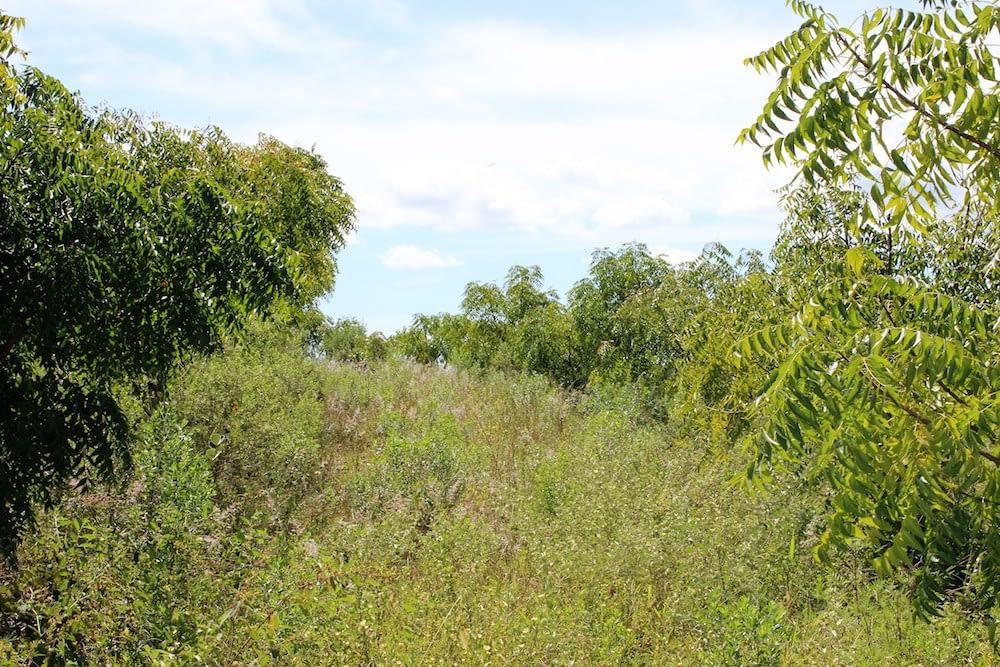 No 50º mês da plantação, ocorreu a primeira frutificação após florada, afirmando que poderia ocorrer após o segundo ano, caso houvesse a correção iniciada somente no 42ºmês.