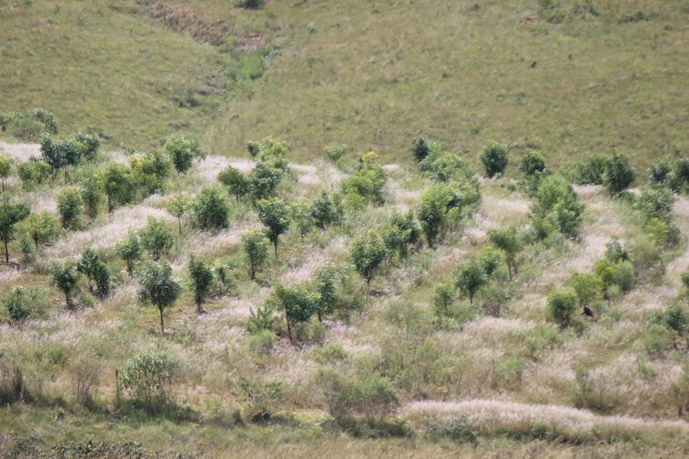 Após um ano, as árvores atingiram a altura media de 1,5m. É necessário fazer roçagens/gradeações e coroamentos a cada 6 meses. Iniciamos a poda de condução após o 15º mês do plantio, gerando 1 ton de pó da folha.
